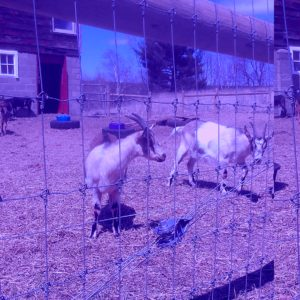 Woven wire with electric offset wires for goats
