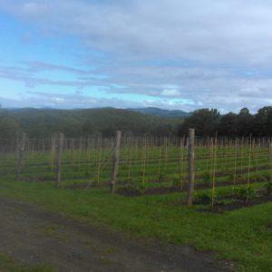 Organic vineyard trellis with locust posts